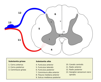 Medulla spinalis - Section - Latin