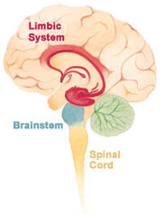 Brain limbicsystem
