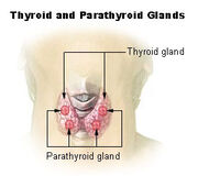 Illu thyroid parathyroid