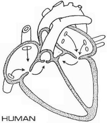 human-heart-diagram-without-labels. Collection of Human Heart Diagram