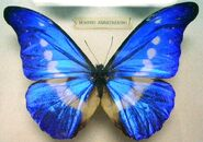 Butterfly Morpho Anaxibia (M) KL