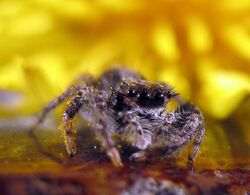 Jumping-spider-WA-eyes