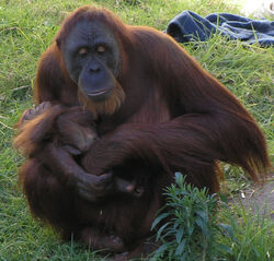 Female Orangutan &amp; Baby PerthZoo SMC Sept 2005