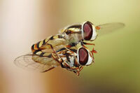 Hoverflies mating midair