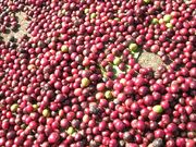 Coffee berries fresh