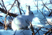 Arctic Hare