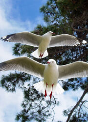 Red legged gulls