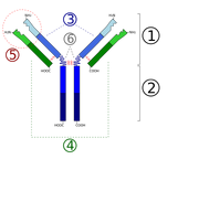 Immunoglobulin basic unit
