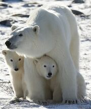 PolarBearMomTwoCubs