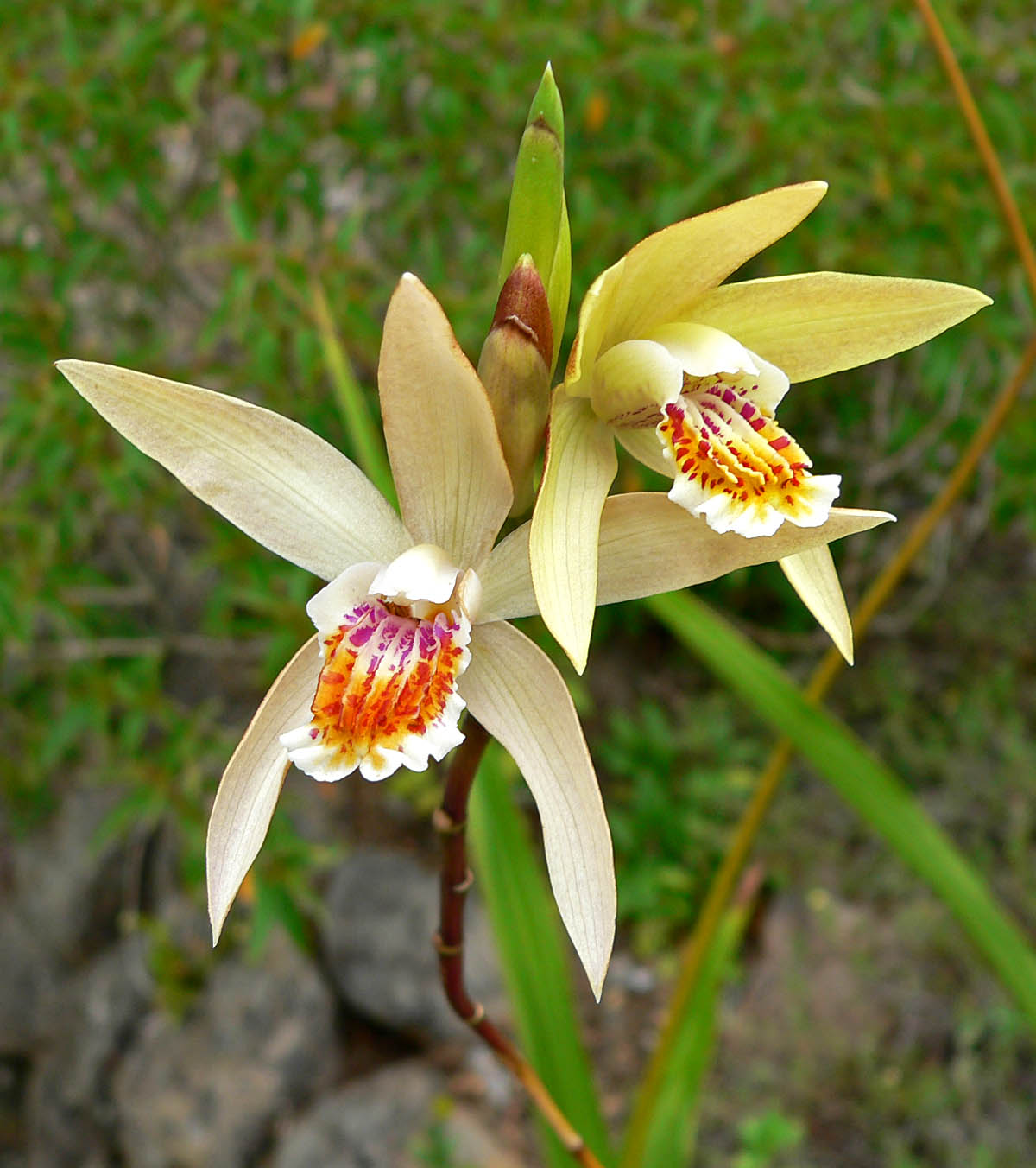 http://images3.wikia.nocookie.net/__cb20080112071351/orchids/en/images/3/3a/Bletilla_ochracea.jpg