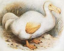 Dodo reunion-Rothschild