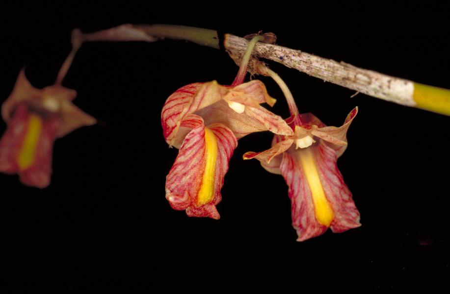 http://images3.wikia.nocookie.net/__cb20080407090937/orchids/en/images/e/ee/Dendrobium_acaciifolium.jpg
