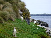 Yellow-eyed Penguins Auckland Islands
