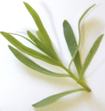 Tarragon