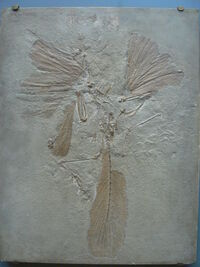 Archaeopteryx lithographica paris