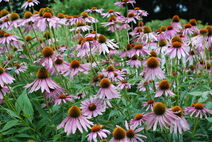 Purple Coneflower (Echinacea purpurea)-1