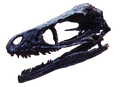 Bambiraptor skull