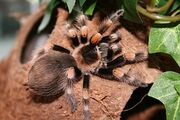 Brachipelma Smithi