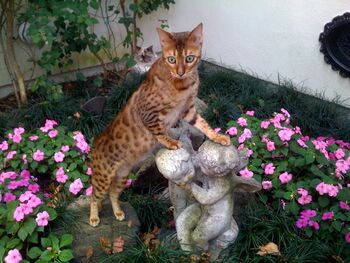 Bengal in a gorgeous garden.jpg