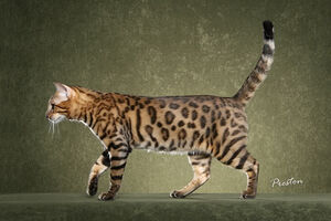 Bengal cat 6