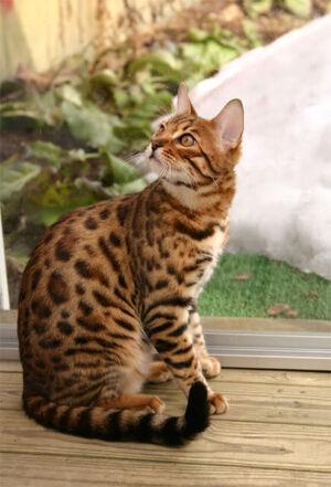 Bengal cat 5.jpg