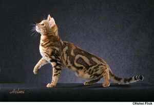 Bengal cat 4
