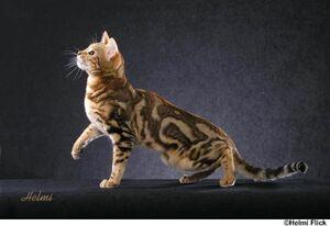 Bengal cat 4.jpg