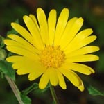 Herbs of the clans Med_marigold