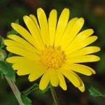 A healers herbs Med_marigold