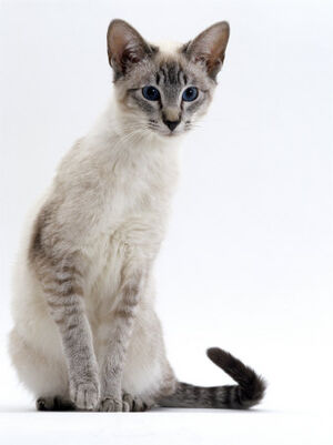 Tabby Point Siamese
