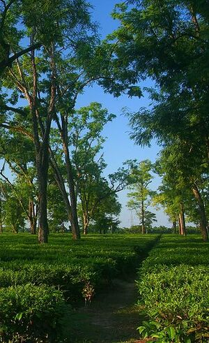 A tea garden in Assam