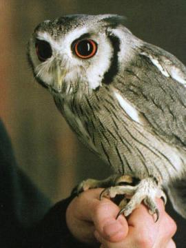 Pigwidgeon Harry Potter Wiki