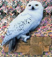 Hedwig
