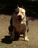 Sam shift pitbull