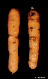 Carrot Potato Rot Nematode Ditylenchus destructor