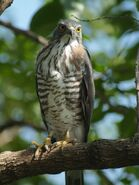 Crested Goshawk