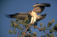 Martial Eagle