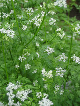 Chervil Bolting