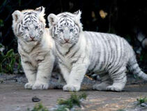 Tigercubs