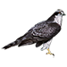 Item goshawk 01