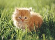 Orange Kitten