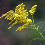 Herbs of the clans Goldenrod