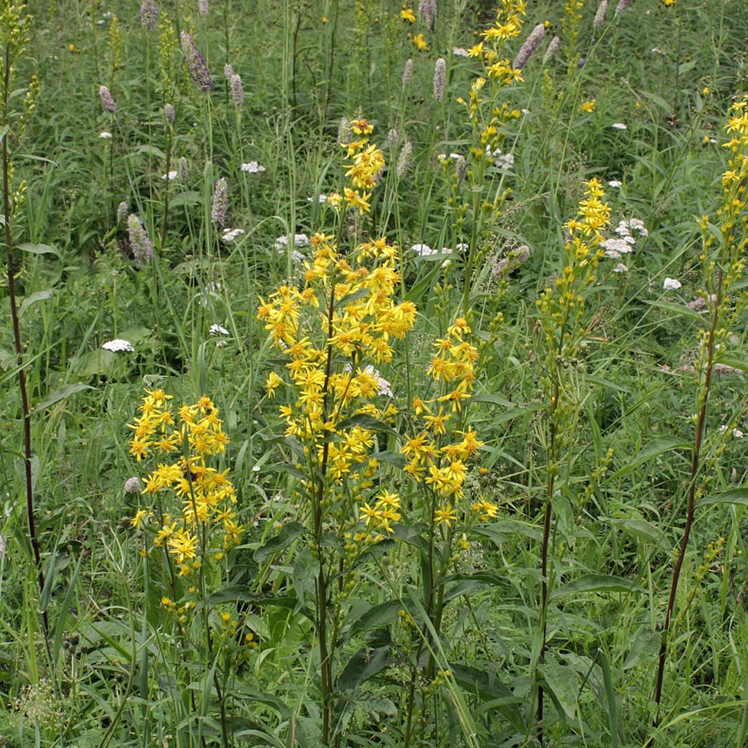 A healers herbs Goldenrod