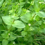 Herb Information Chickweed