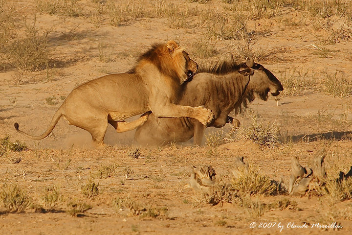 http://images3.wikia.nocookie.net/__cb20110903204204/deadliestfiction/images/2/20/Lion-attacks-wildebeest.jpg