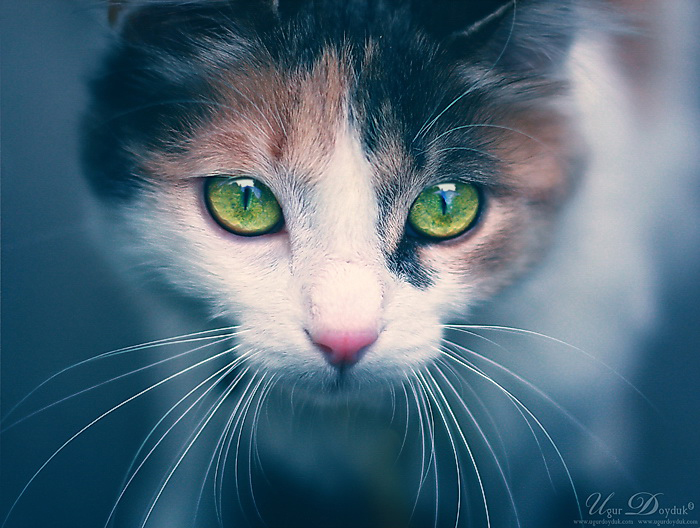 Image result for Calico cat with green eyes