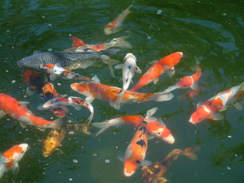 Koi animal crossing wiki for Carp meaning