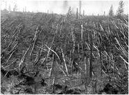 Tunguska trees