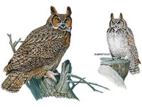 Great-horned-owl-illustration 17167 600x450