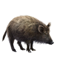 Huge item sardinianwildboar 01